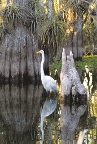 OIL An Egret in the Big Cypress National Preserve 1