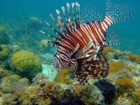 Last week, state wildlife officials began offering incentives for fishermen who remove invasive lionfish from Florida waters.