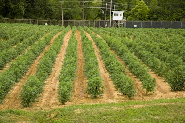 Florida's Foray Into State-Sanctioned Hemp Crops Set For Approval In Time For 2020 Season