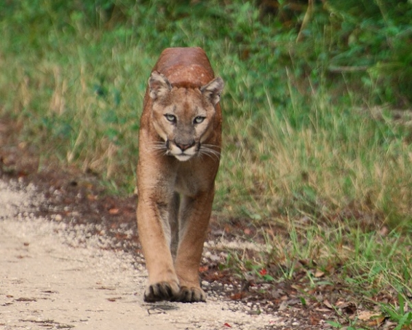 Two More Florida Panthers Die on South Florida Roads – One in Lee County