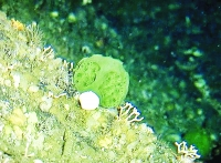Small, deep-water Alaska green sponge
