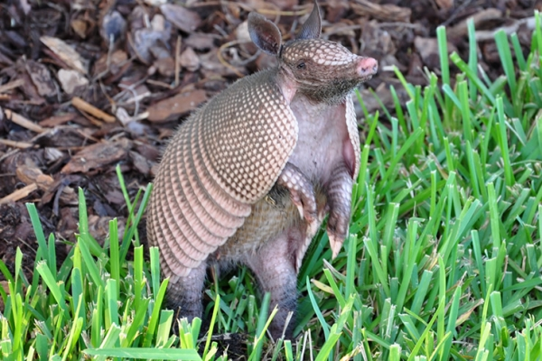 Armadillos are the source of nine cases of leprosy in Florida this year.