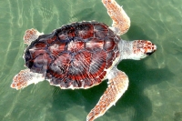 The Loggerhead is one of the most prolific nesters on Sanibel.