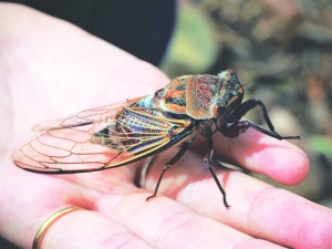 2021: The Year of the 17-Year Cycle  of 'Cicadas'