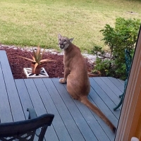 An east Fort Myers household was caught by surprise on March 18 when a Florida panther was caught lounging on their front porch
