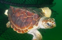 Many species of sea turtles are illegally butchered for food each year, including loggerheads.
