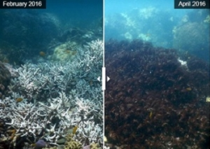 Northern Great Barrier Reef Loses 35% of Its Corals