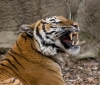 "Woman Who Called Herself ""Tiger Whisperer"" Mauled to Death by a Tiger"