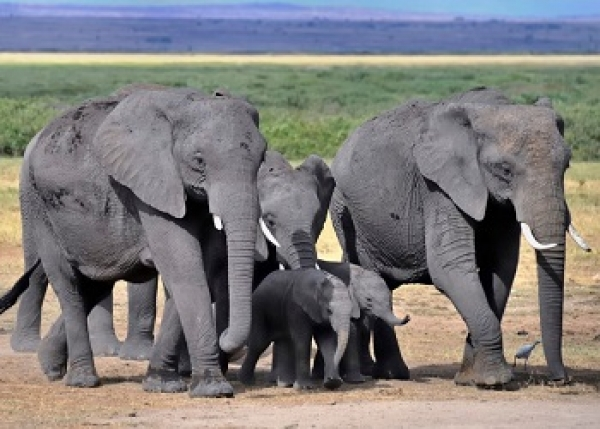 Amboseli Elephant Group