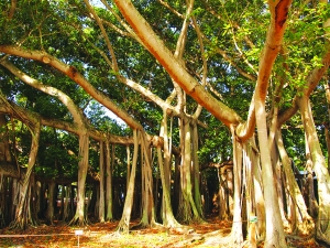 Thomas Edison first brought the Banyan Tree  to South West Florida