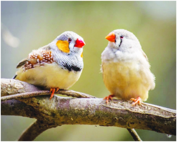 Environmental Page: Zebra Finches Amazing At Unmasking The Bird Behind The Song